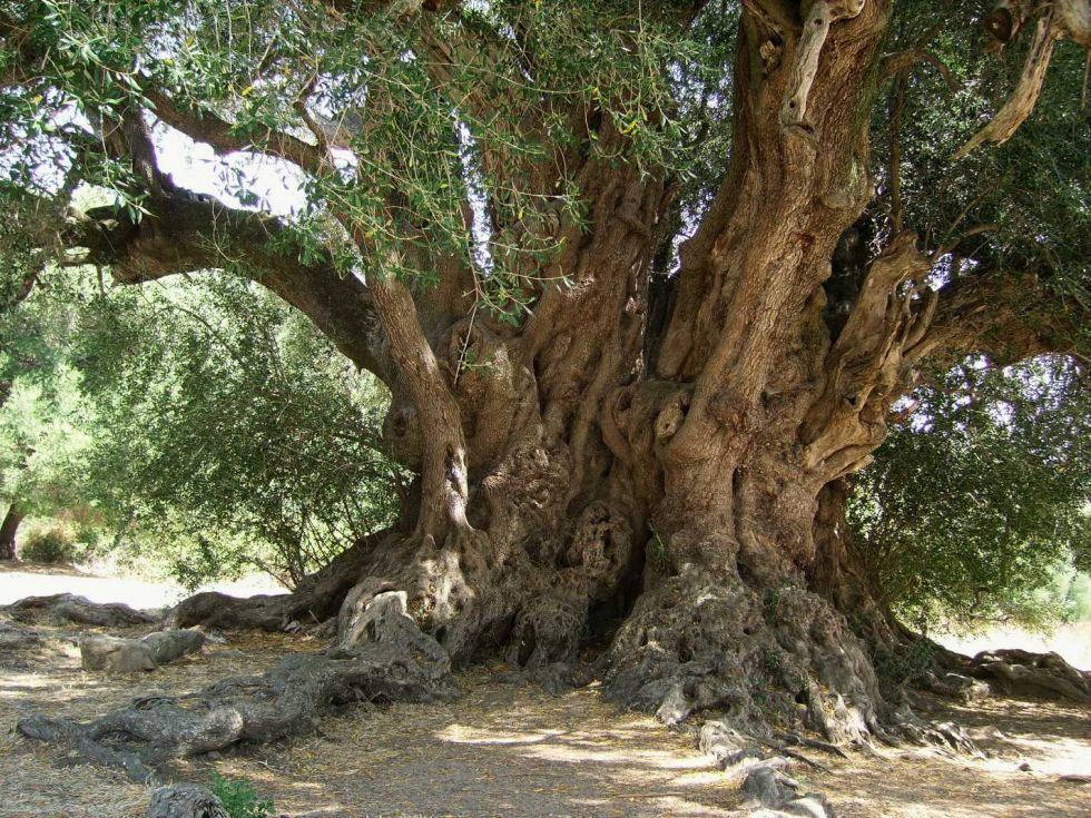 20_Sardegna_Olivastro_Luras
